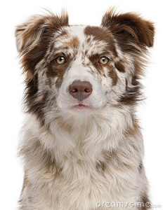 close-up-red-merle-border-collie-18258364