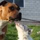 American Staffordshire Terrier ¿Mitos y realidades?